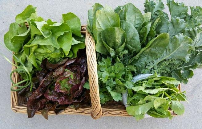 Clockwise from top: Spinach, Green Kale, Baby Arugula, Cilantro, Red Boston Lettuce, Garlic Scapes, Green Boston Lettuce.